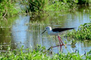 Vogelexcursie Zuidlaardermeer Steltkluut