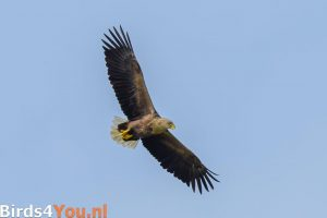 Birding tour Zuidlaardermeer White-tailed eagle