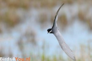 Witwangstern vogelexcursie Zuidlaardermeer