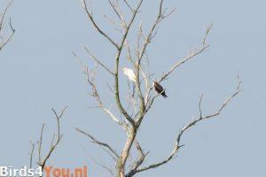 Vogelexcursie Onladen Visarend