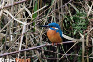 Vogelexcursie Onlanden IJsvogel