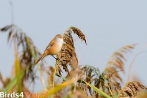 Vogelexcursie Onlanden Baardman (vrouw)