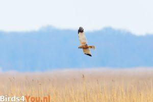 Vogelexcursie Onlanden Bruine Kiekendief
