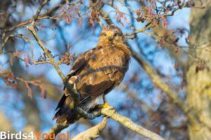Vogelexcursie Onlanden Buizerd
