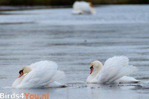 Vogelexcursie Onlanden Knobbelzwaan