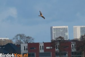 Birding Tour Onlanden Pallid Harrier