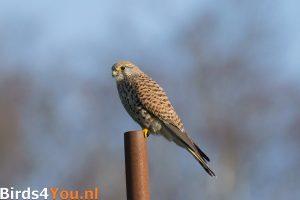 Vogelexcursie Onlanden Torenvalk