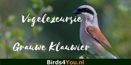 Vogelexcursie Grauwe Klauwier