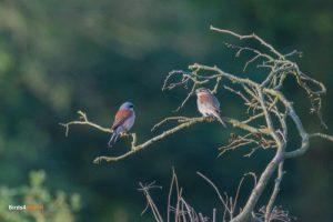 Vogelexcursie Grauwe Klauwier man en vrouw