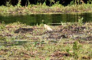 Vogelexcursie Zuidlaardermeer Ralreiger