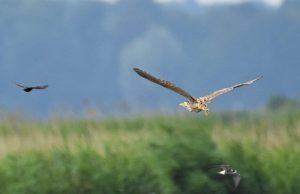 Vogelexcursie Zuidlaardermeer Roerdomp