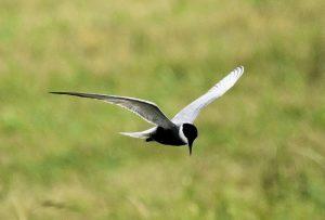 Vogelexcursie Zuidlaardermeer Witwangstern