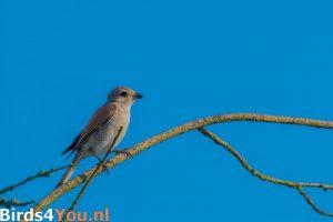 vogelexcursie Grauwe Klauwier jong