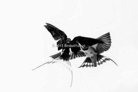 In de lucht dansende Boerenzwaluwen