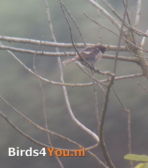 Roodborsttapuit Vogelexcursie Drentsche Aa