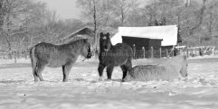 Drie pony's in de wei in de winter