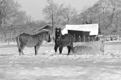 Drie pony's in de wei in de winter