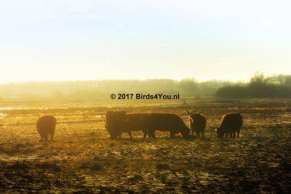 Koeien in de zonsondergang