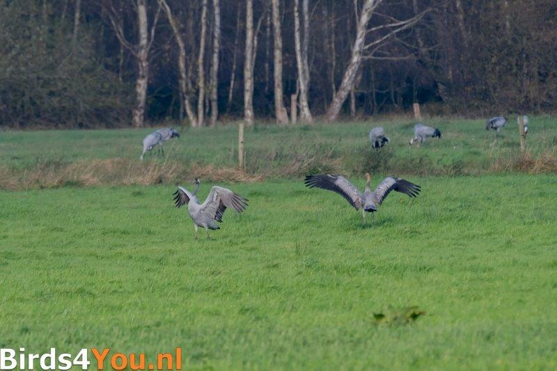 Kraanvogelexcursie Kraanvogel met jong.