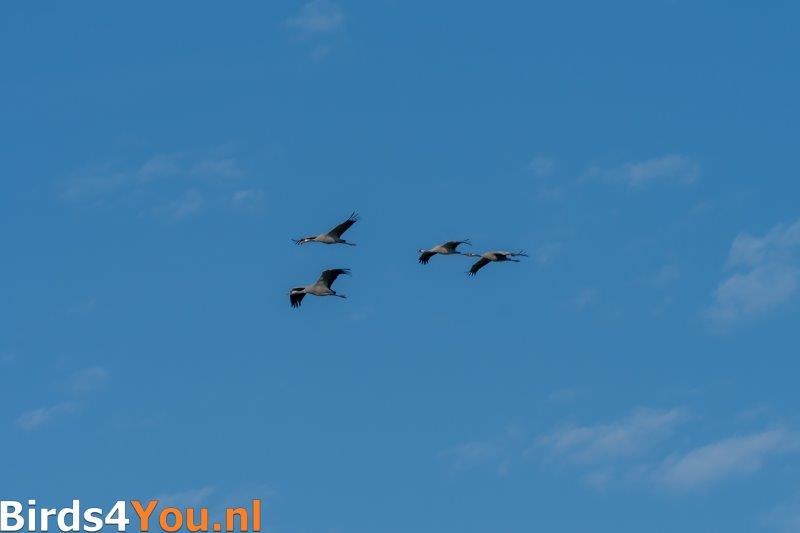 Kraanvogelexcursie overvliegende Kraanvogels.