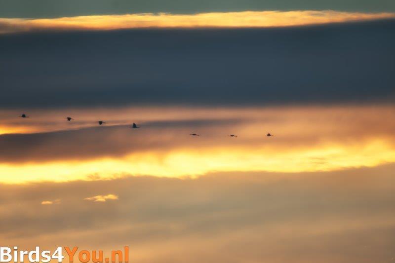 Kraanvogelexcursie Kraanvogels in de zonsondergang
