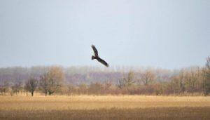 Vogelexcursie Lauwersmeer Bruine Kiekendief