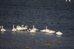 Vogelexcursie Lauwersmeer Wilde Zwanen