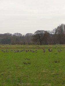 Vogelexcursie Friesche veen Ganzen