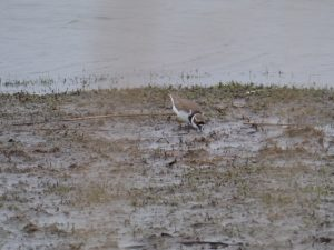 Vogelexcursie Lauwersmeer Kleine Plevier (Foto door Imco)