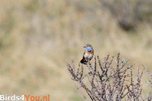 Vogels kijken Blauwborst
