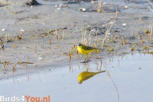 Vogels kijken Gele Kwikstaart