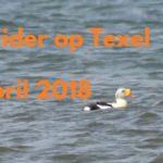 Vogels kijken op Texel de Koningseider