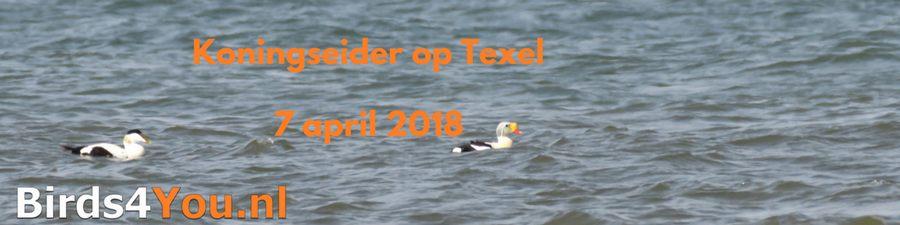 Vogels kijken Texel Koningseider