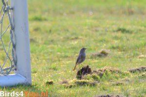 Vogels kijken Zwarte Roodstaart