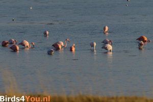 flamingo vogelexcursie Nederland