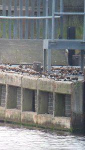 Steenlopers Lauwersoog haven