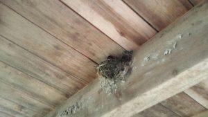 Barn Swallow on the nest in the viewing room.