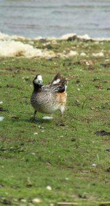 Bird excursion Lauwersmeer Friesland Chilean Wigeon 1