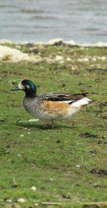 Bird excursion Lauwersmeer Friesland Chilean Wigeon
