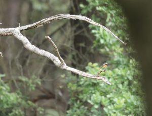 Gekraagde roodstaart