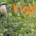 Vogelexcursie verslag Grauwe klauwier & Wielewaal 2018