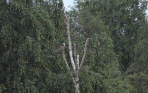 Visarend in de boom Hijkerveld