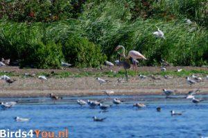 Flamingo voert jong