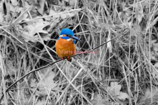 IJsvogel op een takje