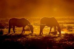 Paarden in de zonsondergang