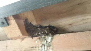 Vogelexcursie Diependal Boerenzwaluwen op het nest