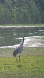 Vogelexcursie Diependal Kraanvogels