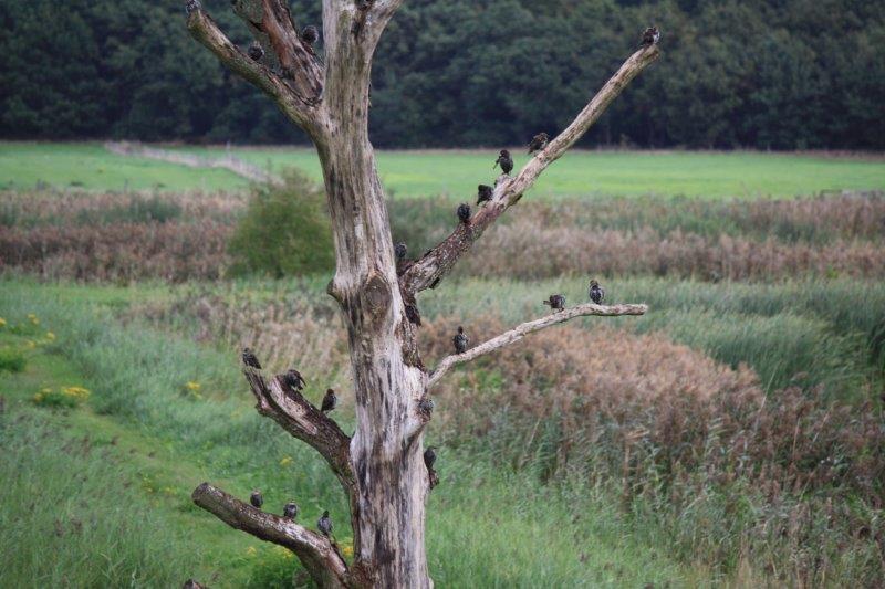 Vogelexcursie Diependal boom met spreeuwen