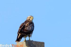 Vogelexcursie Buizerd Lauwersmeer