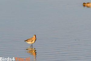 Vogelexcursie Grutto bij de Ezumakeeg